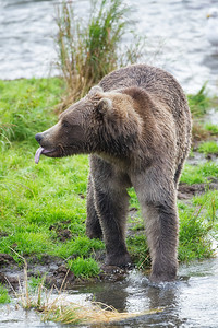Young bear showing his feelings toward the big bullies that chased him from his fishing spot at the falls.