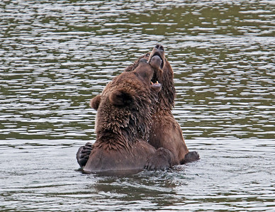 Play fighting that sometimes can escalate. Many of the bears had scars from fights. Most disputes are settled with the smaller bear just moving away yielding the fishing spot to the bigger bear