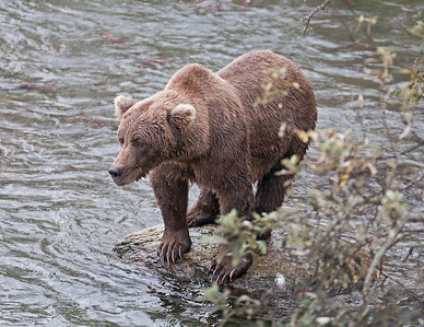 Each bear had their own fishing style. Some stood on a rock and jumped in the water while others sat in the water waiting for the salmon to move by them.
