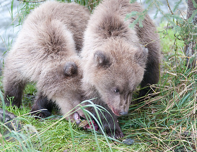 Even the cubs aggressively eat the salmon. Stealing scraps from each other and their mother.