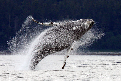 This breaching Humpback Whale was photographed near Juneau, Alaska in May 2009. This photo won 1st place in the Wildlife division of the 2010 Carolinas Nature Photography Association Annual Members Photo Contest.