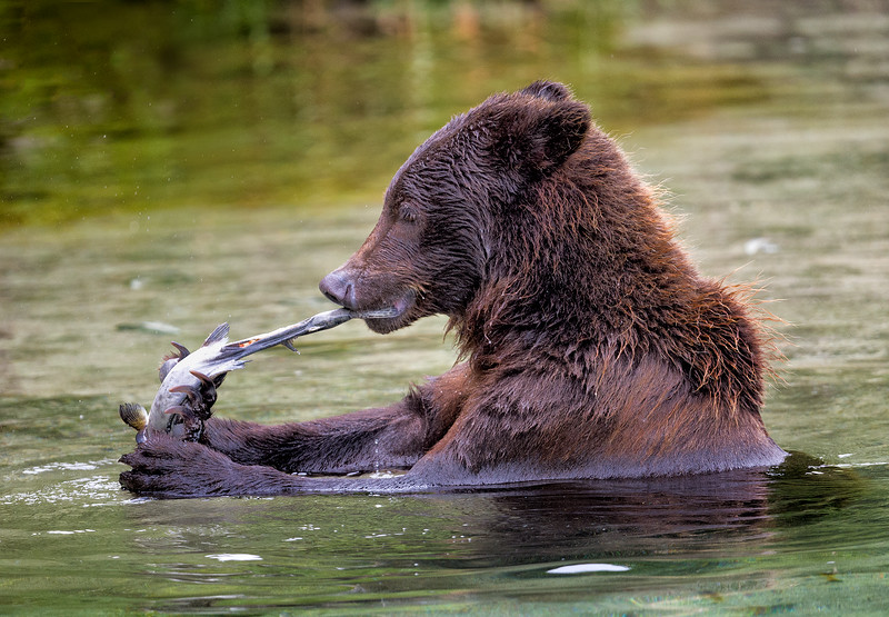 Push/Pull: How a Kodiak bear eats a salmon, lacking a knife and fork.