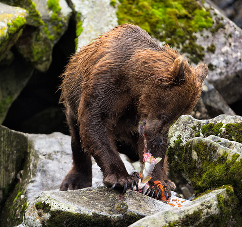 Alaskan bear digging into a female salmon with roe
