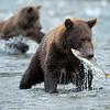 Feeding frenzy: bears and salmon