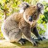 Koala, Albany, Australia