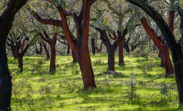 Cork trees near Nossa Senhora