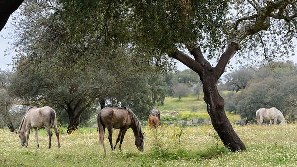 Grazing horses Santa Eulalia