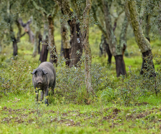 Black pig, Setubal district