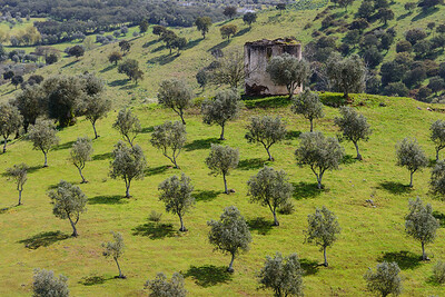 Olive trees at Montemor-o-Novo