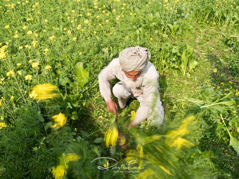 Gathering flowers for mustard seeds harvesting