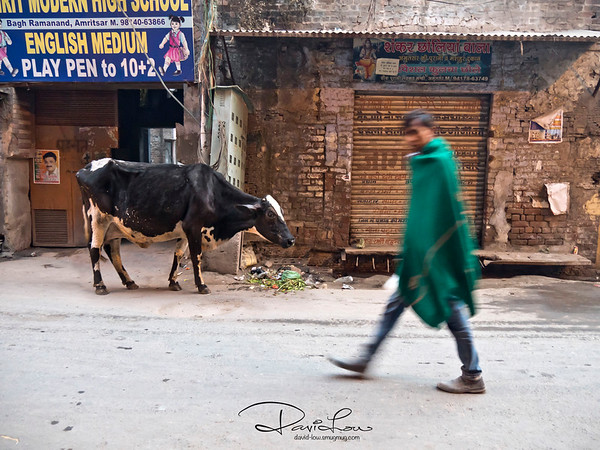 Lucky cow roaming the street