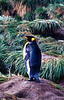 Salisbury Plain, South Georgia: Single King Penguin (Aptenodytes Patagonicus)