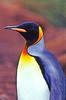 Salisbury Plain, South Georgia: Close-up King Penguin Portrait (Aptenodytes Patagonicus)