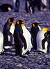 Salisbury Plain, South Georgia: King Penguins (Aptenodytes Patagonicus)