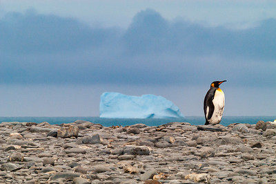A king penguin (Aptenodytes patagonicus) with an iceberg behind at Gold Harbor, South Georgia.