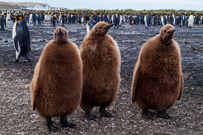 Oakum boys, the chicks of King Penguins (Aptenodytes patagonicus), at Salisbury Plain, South Georgia.