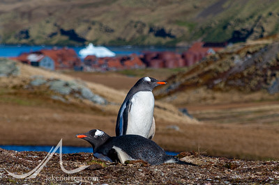 A pair of king penguins (Aptenodytes patagonicus) at their nest outside the old whaling station of Grytviken, island of South Georgia.