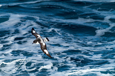 A Cape Petrel (Daption capense) glides over the churning waters of the South Atlantic Ocean off the coast of South Georgia.