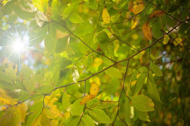 Golden Fall Leaves