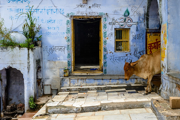 Cow on the Ghats of Pushkar Lake