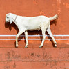 white goat walking in front of an orange wall in Jaipur, India