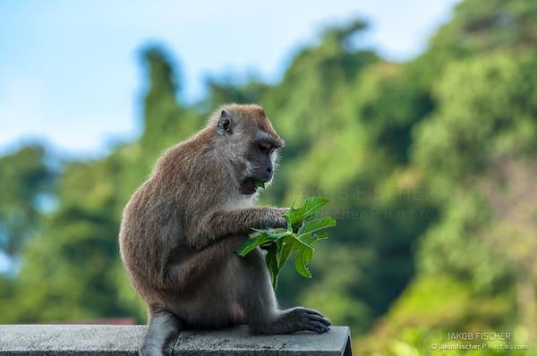 monkey having lunch