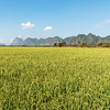 wheat field in Hpa An, Myanmar