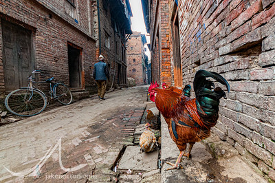 A rooster checks out the scene on the medieval streets of Bhaktapur, Kathmandu Valley, Nepal.