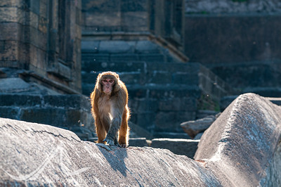 A wild monkey walks along a wall at Pashupatinath, Kathmandu, Nepal.