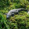 Crocodile in Chitwan-Nationalpark, Nepal