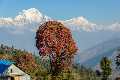 Rhododendron in front of Annapurna