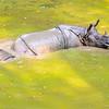 Rhinoceros family