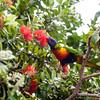 Lory Parrots