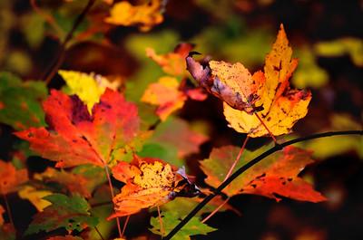 Concord Foliage