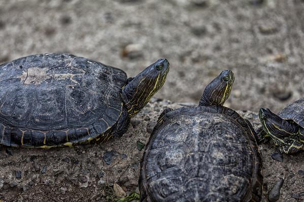 Roatan; Handuras; Iguana Farm; Turtle Yellow Belly Slider (Trachemys scripta)
