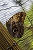 Belize; Belize City; Bacab Eco Park; Owl Butterfly(Caligo memnon)