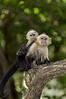 Roatan; Fantasy Island Beach Resort Dive & Marina; Handuras; White Faced Capuchin Monkey (Cebus capucinus)
