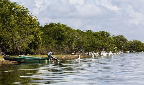 Crooked Tree Wildlife Sanctuary;Belize;Great Egret (casmerodius albus)