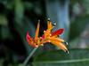 Belize; Belize City; Bacab Eco Park; Heliconia(Psittacorum)