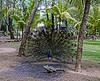 Roatan; Fantasy Island Beach Resort Dive & Marina; Handuras;  Peacock Peafowl (Pavo cristatus);Green Iguana(Iguana iguana