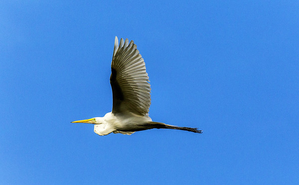 Morning bird watching on the  Chaconmachaca River; Great Egret (Casmerodius albus)
