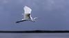 Crooked Tree Wildlife Sanctuary; Belize; Great Egret (casmerodius albus); Belize City;