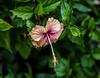 Belize; Placencia; Hibiscus