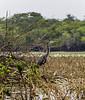 Crooked Tree Wildlife Sanctuary; Birds Eye View Lodge, Belize; Great Blue Heron ( Ardea herodias)