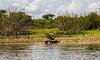 Crooked Tree Wildlife Sanctuary; Belize; Belize City;  Turkey Vulture (Cathartes aura)