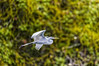 Guatemala; Rio Dulce Gorge; Great Egret (Casmerodius albus)