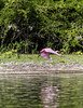 Crooked Tree Wildlife Sanctuary;Roseate Spoonbill (Ajaia ajaja