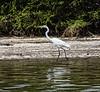 Crooked Tree Wildlife Sanctuary; Birds Eye View Lodge, Belize; Great Egret ( Casmerodius albus)