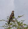Crooked Tree Wildlife Sanctuary; Snail Kite (Rostrhamus sociabilis); Belize; Belize City