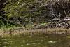 Crooked Tree Wildlife Sanctuary; Belize; Belize City; Limpkin (Carao Aramus guarauna)